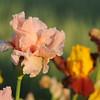 IRIS_Flower_vuillerens_01062012_0240