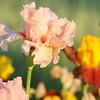 IRIS_Flower_vuillerens_01062012_0241