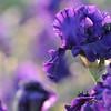IRIS_Flower_vuillerens_01062012_0044
