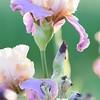 IRIS_Flower_vuillerens_01062012_0165