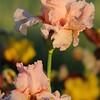 IRIS_Flower_vuillerens_01062012_0226