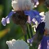 IRIS_Flower_vuillerens_01062012_0069