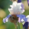 IRIS_Flower_vuillerens_01062012_0070