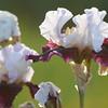IRIS_Flower_vuillerens_01062012_0152