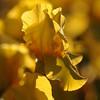 IRIS_Flower_vuillerens_01062012_0167