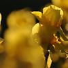 IRIS_Flower_vuillerens_01062012_0155