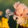 IRIS_Flower_vuillerens_01062012_0247