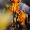IRIS_Flower_vuillerens_01062012_0191
