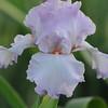 IRIS_Flower_vuillerens_01062012_0059