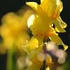 IRIS_Flower_vuillerens_01062012_0159