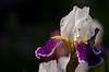 Memorial Day Iris