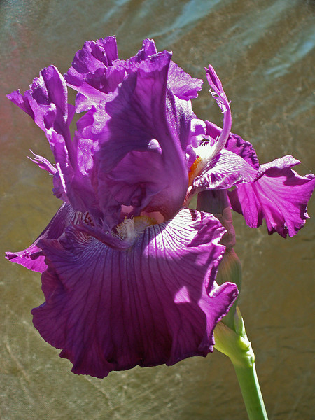 The BeautifuI Iris