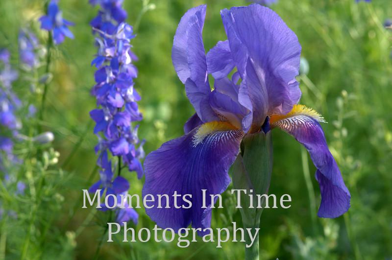 Iris with larkspur