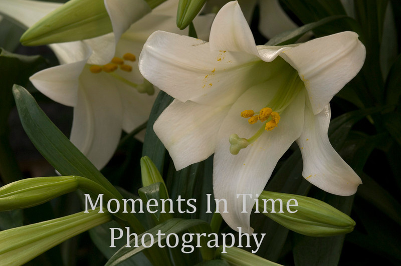 Easter lily with 2 buds