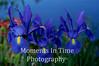 1blu Blue Iris Trio