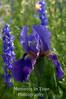 Iris with larkspur v