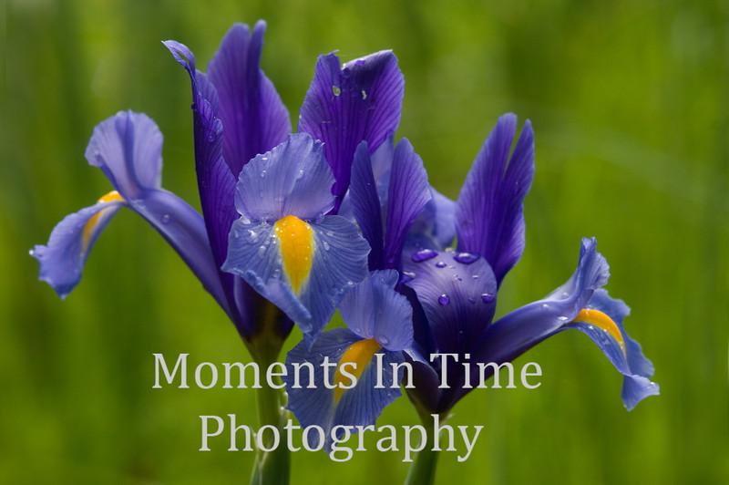 Iris Siberian