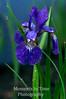 Blue iris vert