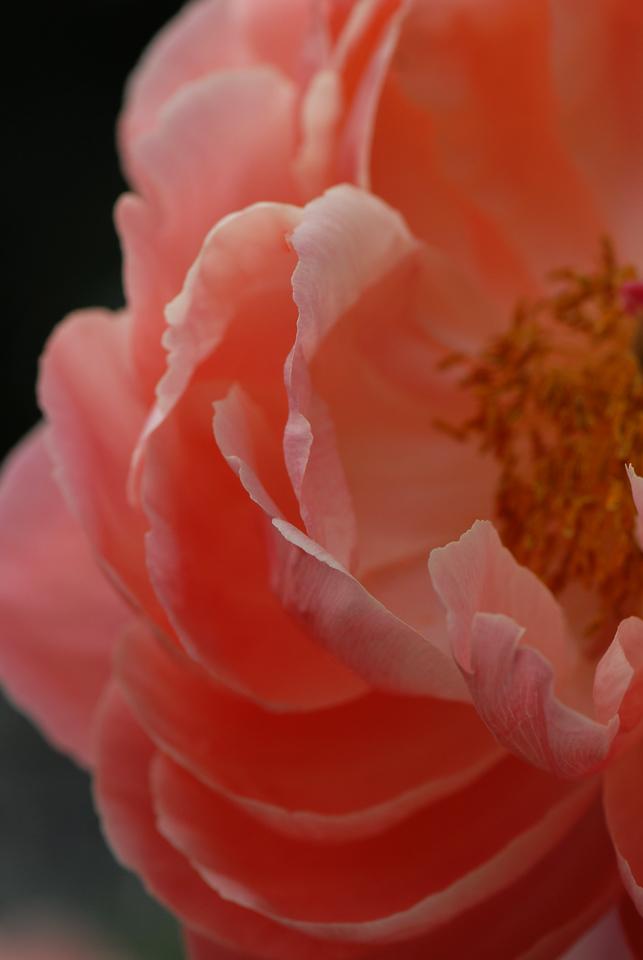 Peony - Pretty & Pink II