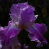 Iris - Siempre I