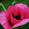 Poppy - Pink & Perky