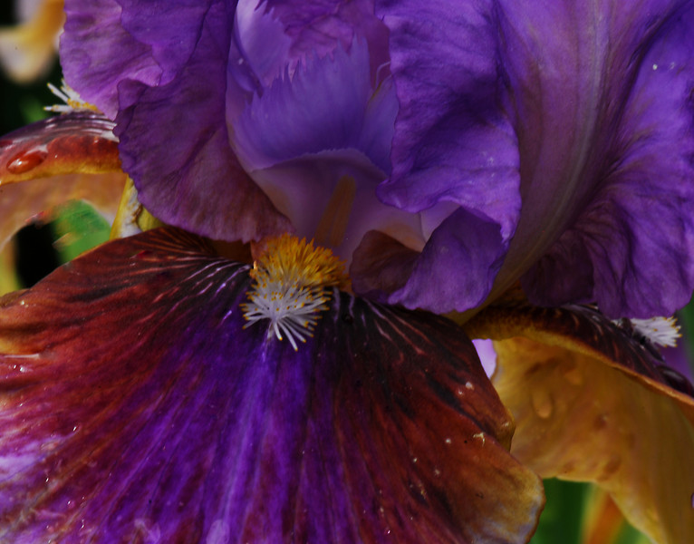 Iris - Mardi Gras I_edited-1