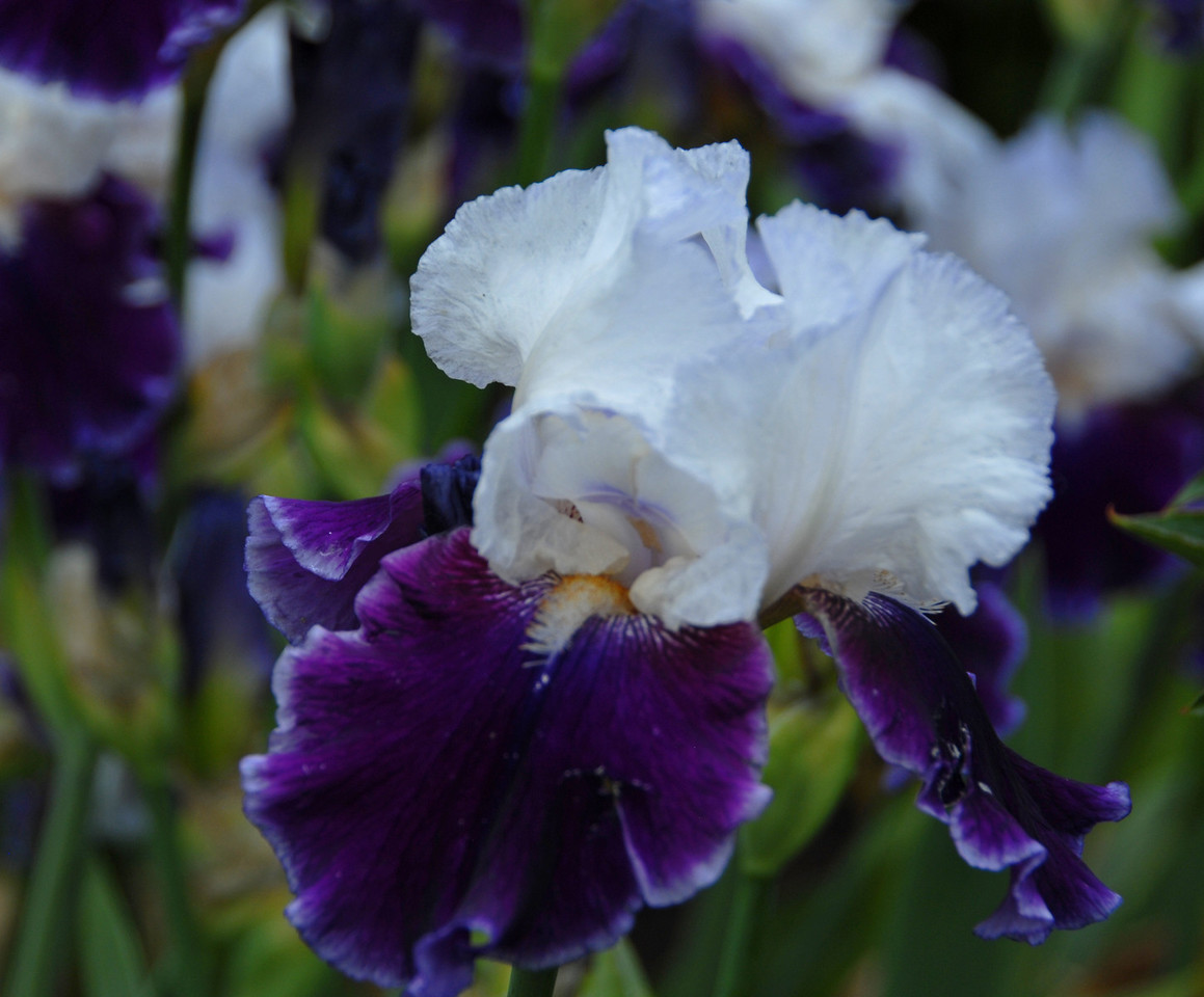 Iris - White Lace & Blue Velvet