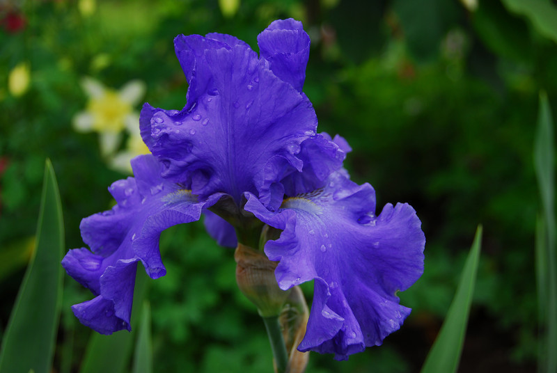 Iris - Lavendar Blue I