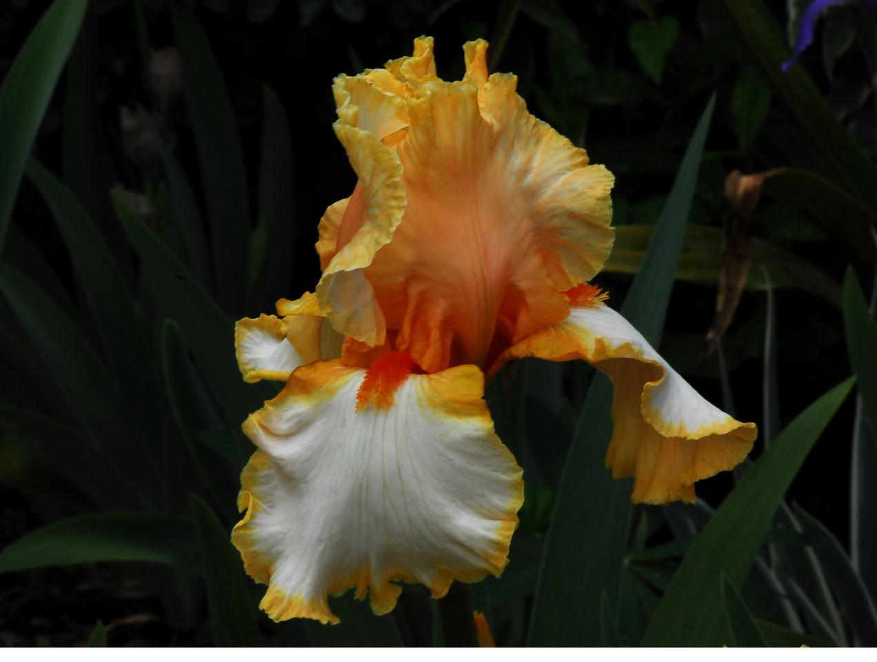 Iris - Golden Secrets