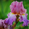 Iris - Elegance & Lace