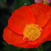 Poppy - Pretty in Red IV