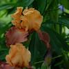 Iris - Creole Debut