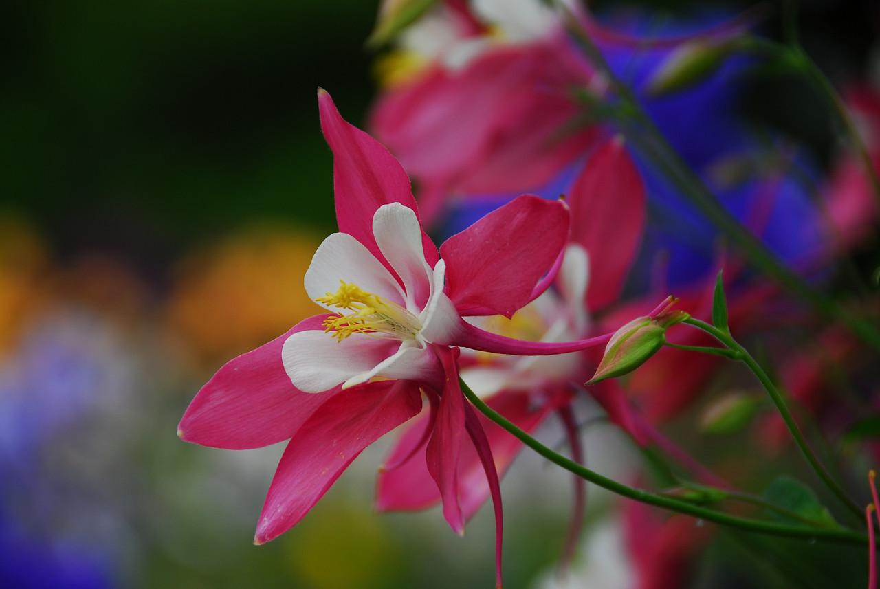 Columbine - Pretty in Pink I