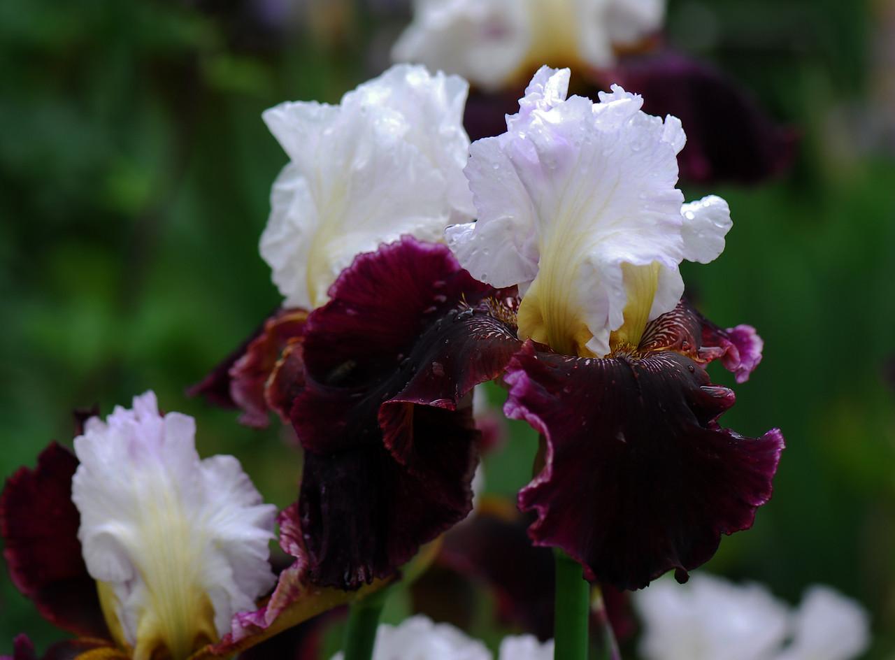 Iris - White Lace & Promises-1