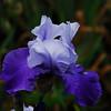 Iris - Lavendar & Lace