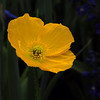 Poppy - Sun Kissed I