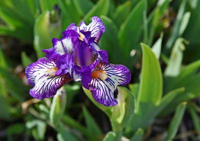 "Standard Dwarf Bearded Iris - ""Dinky Doodle.""  Taken at the NDSU gardens.  These bi-colors are some of my favorites.  Have a great Memorial Day.  My thanks and prayers for those who serve and have served  this great nation.  Be blessed."