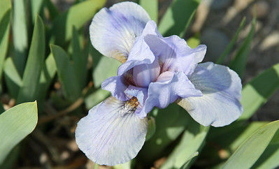Standard dward bearded iris - Manhattan Blues.