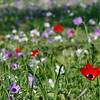 anemone משטח פריחת כלניות בשלל צבעים בעמק יזרעאל