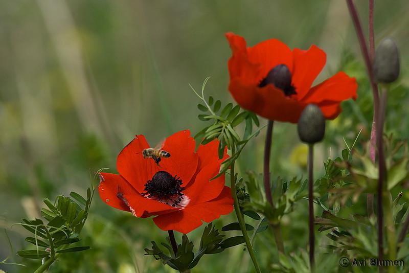 anemone כלניות