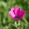 anemone כלנית