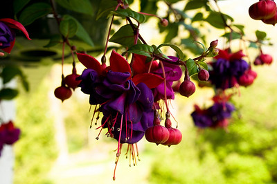Fantastic Fuchsia Photo by Penny Jesse