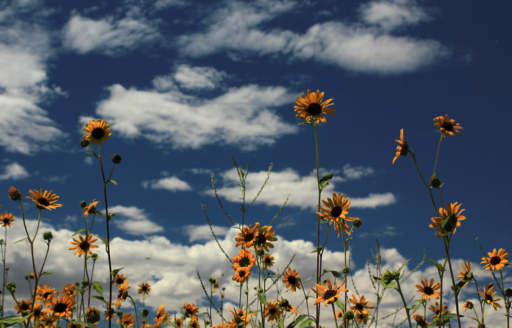 sunflowers,  farmers pond, aug. 2011