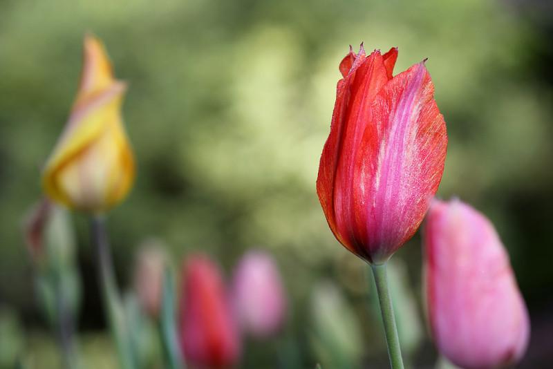fan fan la tulipe