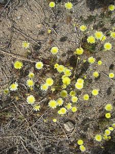 Desert Dandelion (yellow)