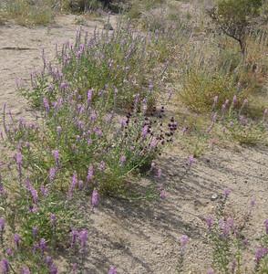 Arizona Lupine (purple)