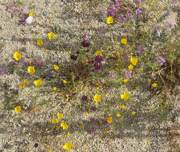 Desert Poppy (yellow) with Canterbury Bells (blue) and Chia (purple)