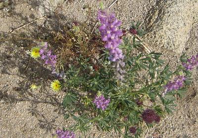 Desert Dandelion (yellow) with Wild Heliotrope (blue) and Chia (purple)
