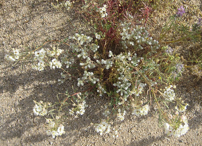 Dune Primrose (white) with Forget-Me-Nots (small white)