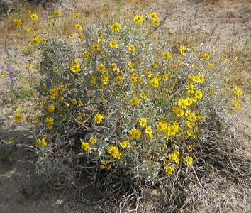 Brittlebush (yellow)